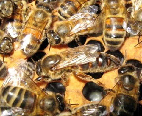 бакфаст (бакфастские пчелы)