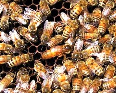 итальянские пчелы