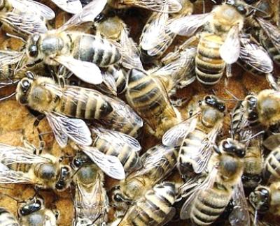 карпатка, карпатские пчелы