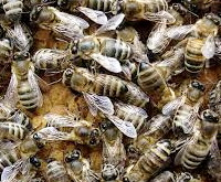 порода пчел - серая горная кавказская пчела