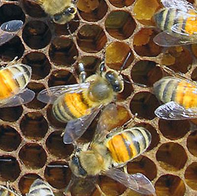 кубанские, северокавказские или кавказские широколапые пчелы