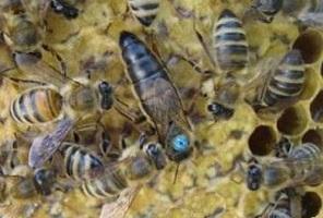 чего не любят пчелы